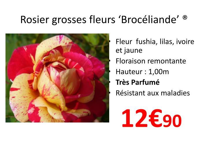 Rosier grosses fleurs 'Brocéliande'