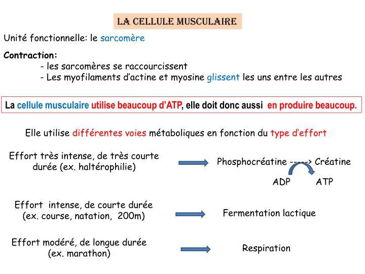 La cellule musculaire