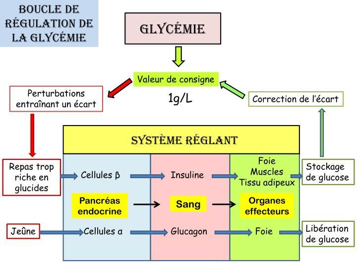 Boucle de régulation de la glycémie