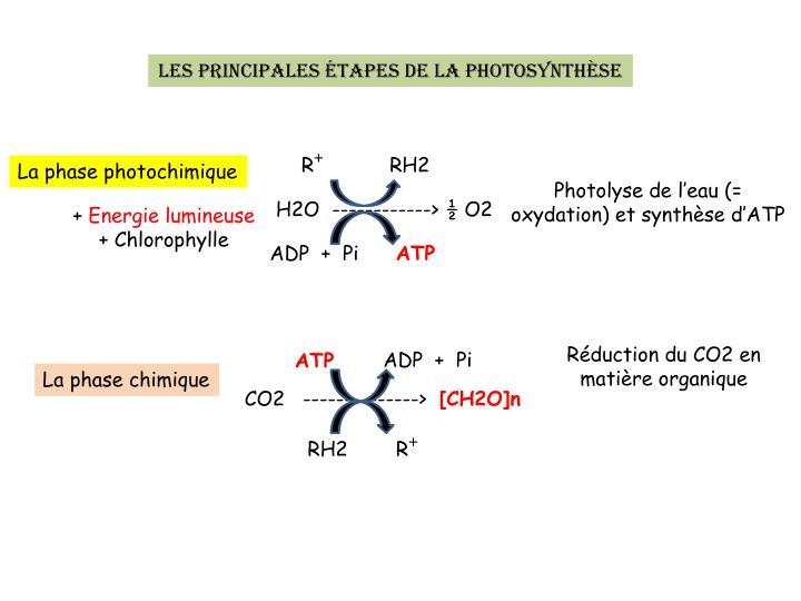 Les principales étapes de la photosynthèse