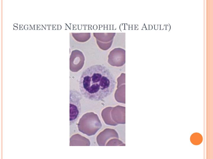 Segmented Neutrophil (The Adult)