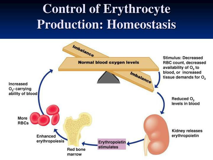 Control of Erythrocyte Production: Homeostasis