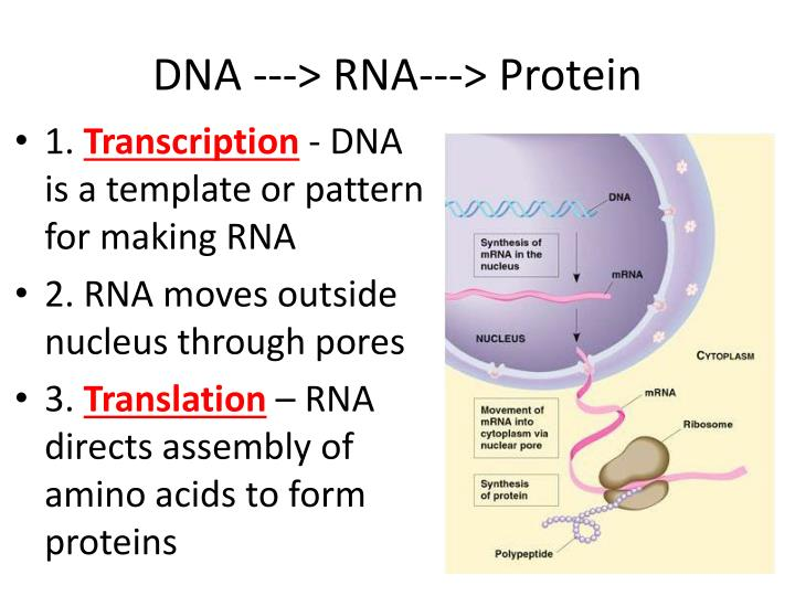 DNA ---> RNA---> Protein