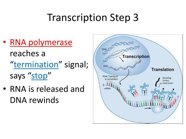 Transcription Step 3