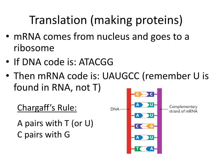 Translation (making proteins)