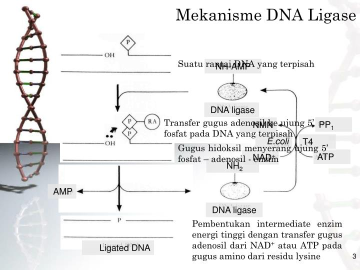 Mekanisme DNA Ligase