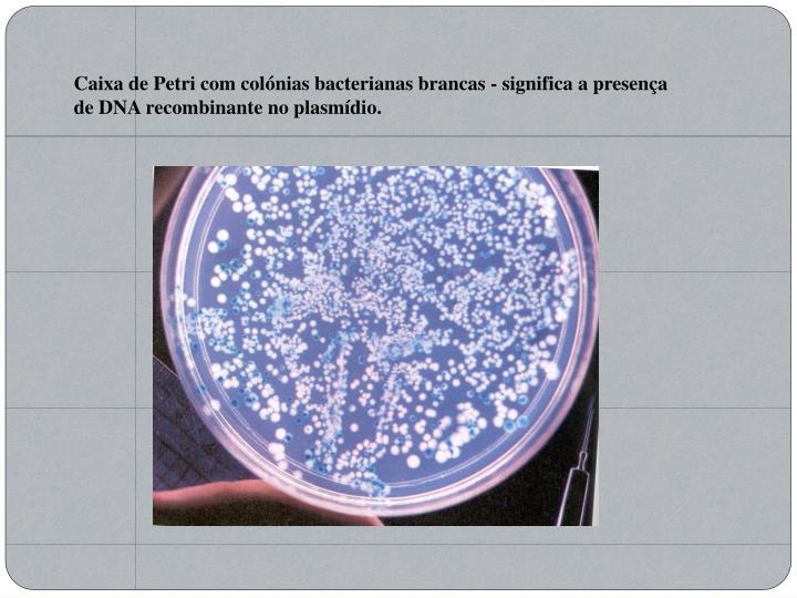 Caixa de Petri com colónias bacterianas brancas - significa a presença de DNA recombinante no plasmídio.