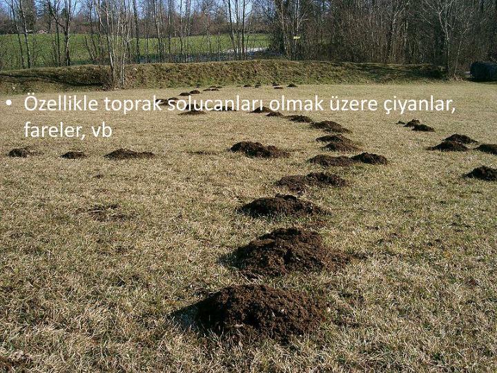 Özellikle toprak solucanları olmak üzere çiyanlar, fareler, vb
