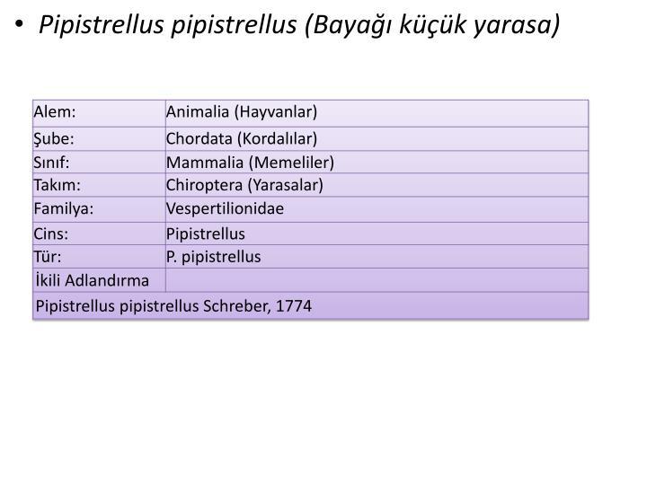 Pipistrellus