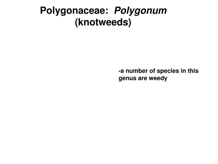 Polygonaceae: