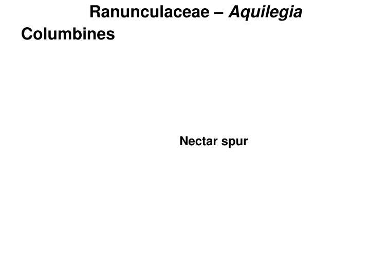 Ranunculaceae –
