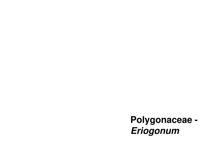 Polygonaceae