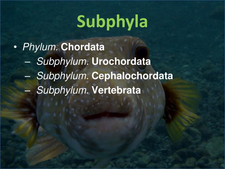 Subphyla