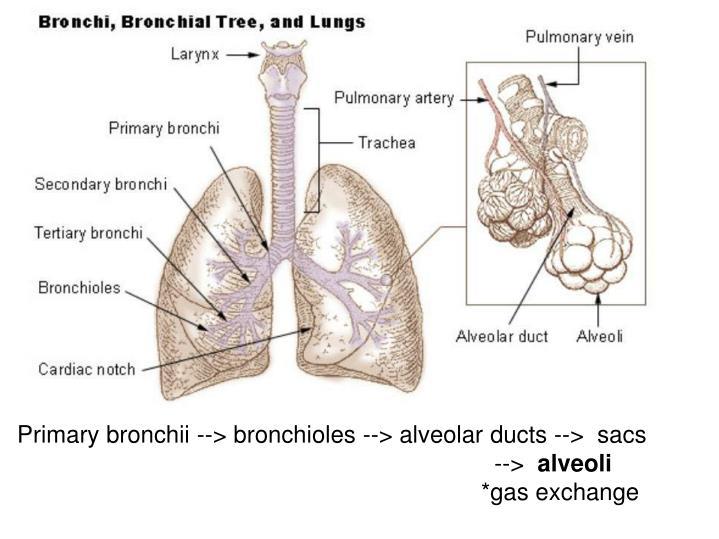 Primary bronchii --> bronchioles --> alveolar ducts --> sacs