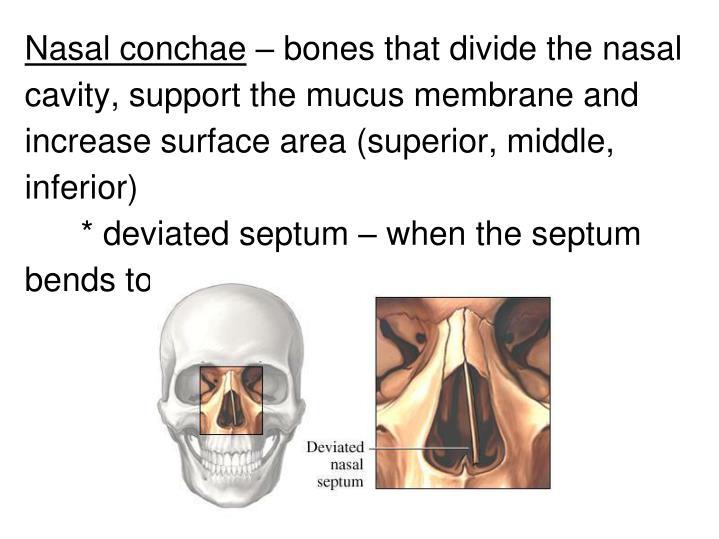 Nasal conchae