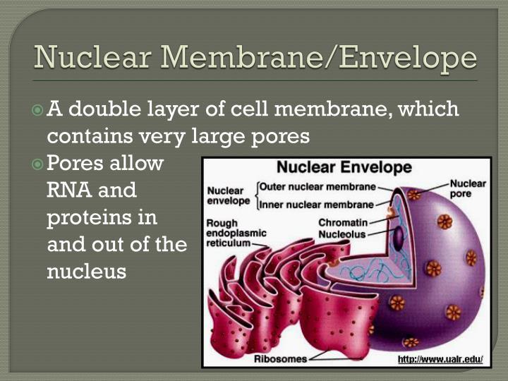 Nuclear Membrane/Envelope