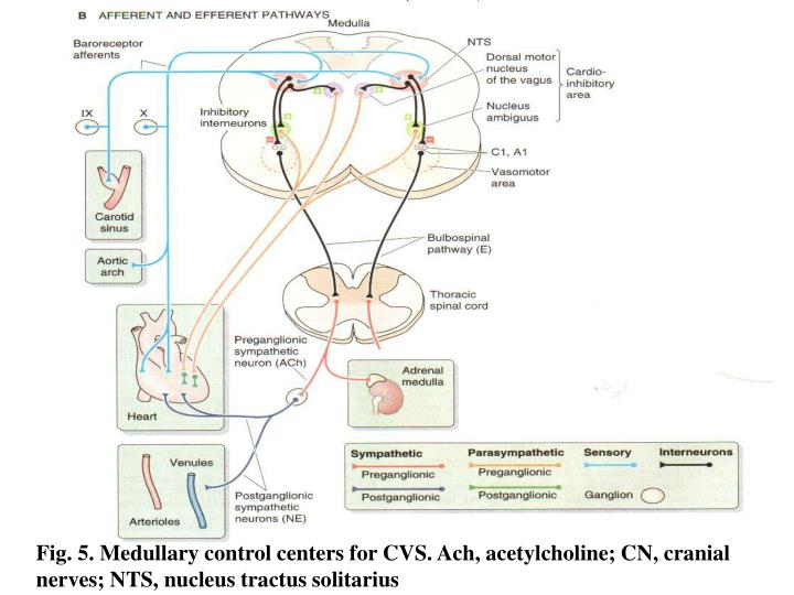 Fig. 5. Medullary control centers for CVS. Ach, acetylcholine; CN, cranial nerves; NTS, nucleus tractus solitarius