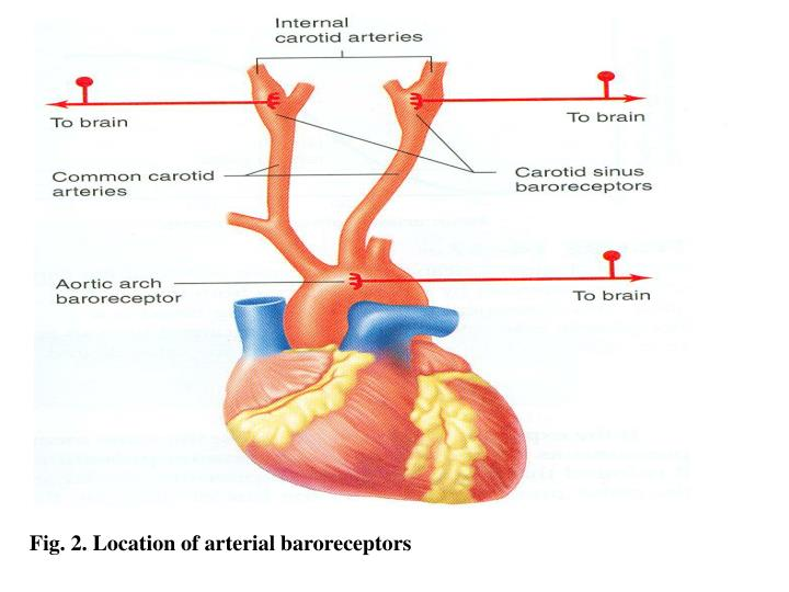Fig. 2. Location of arterial baroreceptors