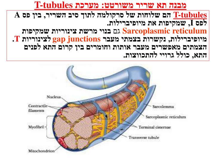 מבנה תא שריר משורטט: מערכת
