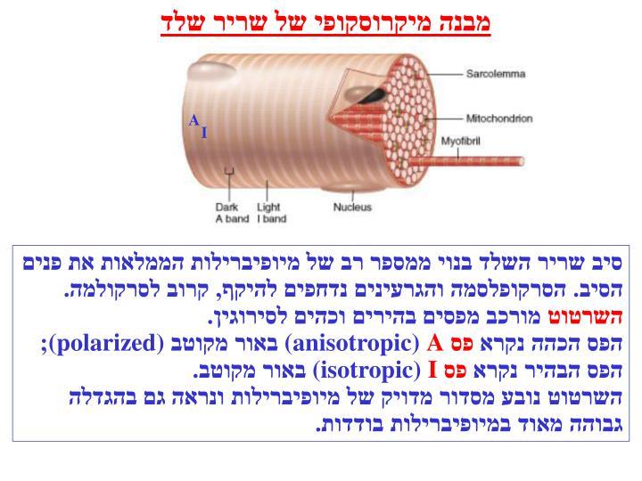מבנה מיקרוסקופי של שריר שלד