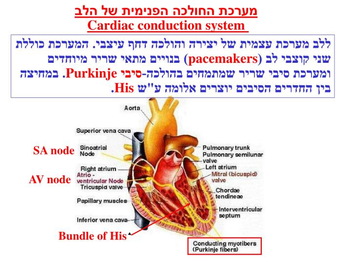 מערכת החולכה הפנימית של הלב