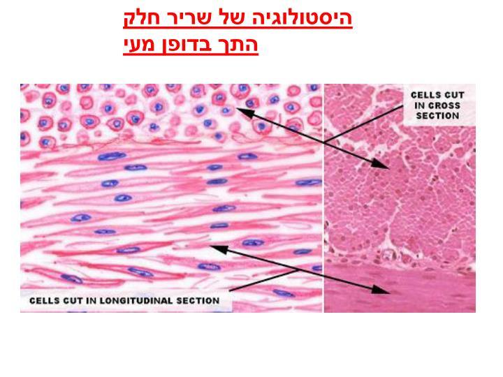 היסטולוגיה של שריר חלק