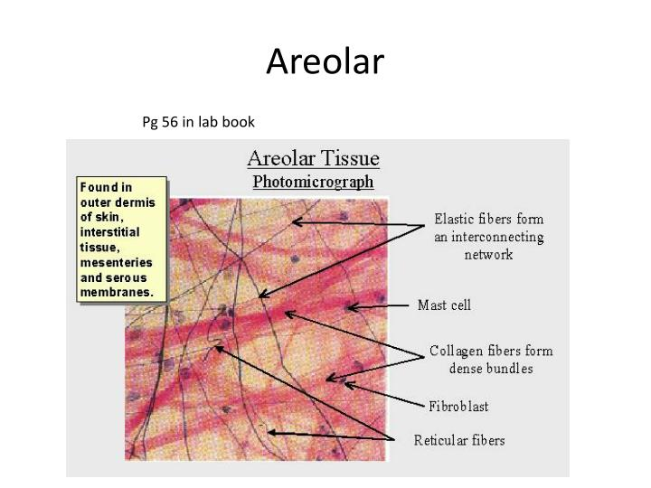 Areolar