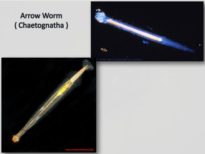 Arrow Worm