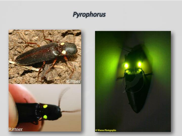 Pyrophorus