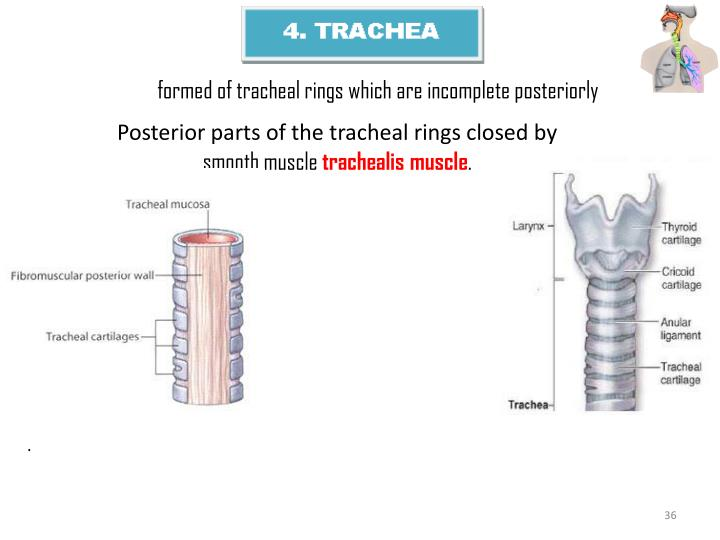 formed of tracheal rings which are incomplete posteriorly
