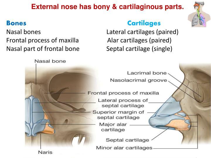 External nose has bony