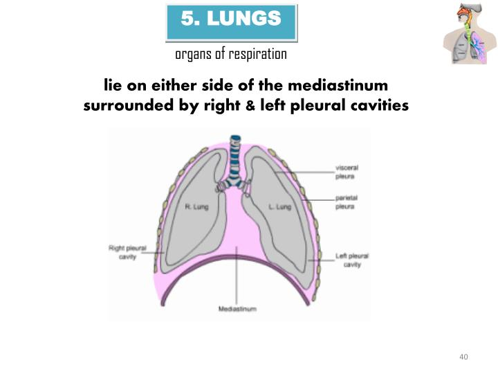 5. LUNGS