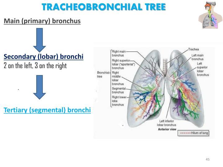 Tracheobronchial Tree