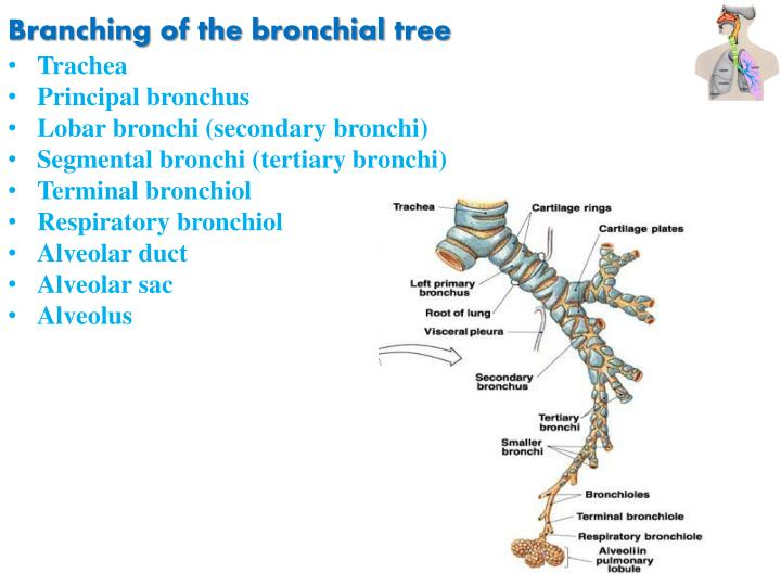 Branching of the bronchial