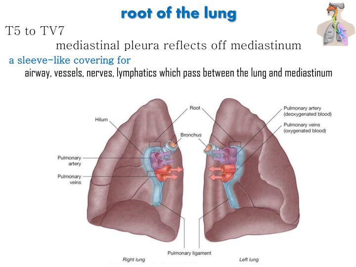 root of the lung
