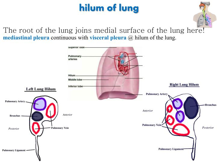 hilum of lung