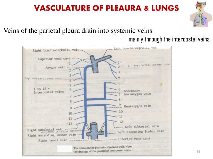 Vasculature of