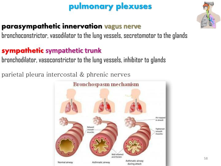 pulmonary plexuses