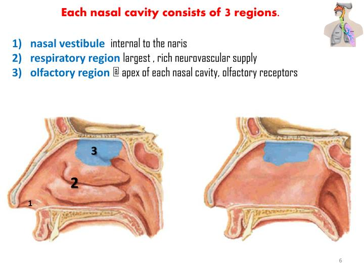 Each nasal cavity consists of