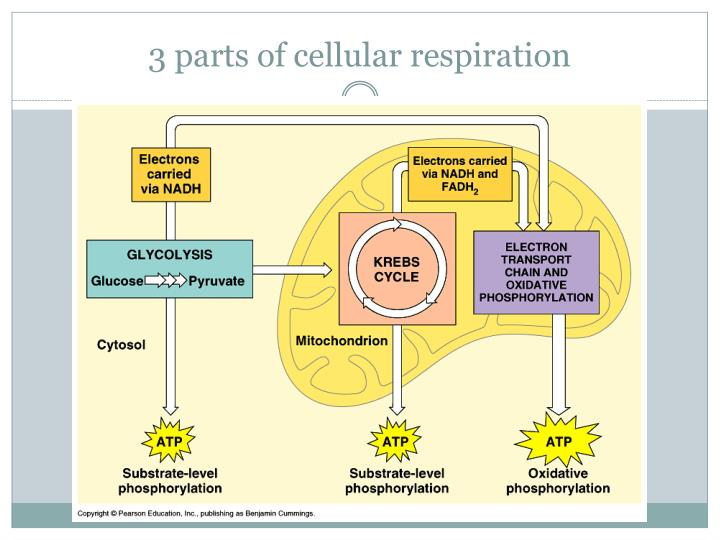 3 parts of cellular respiration
