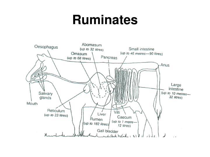 Ruminates