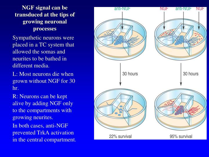 NGF signal can be transduced at the tips of growing neuronal processes