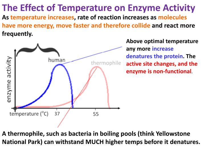 The Effect of Temperature on Enzyme Activity