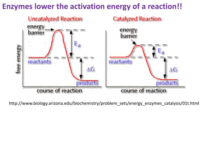 Enzymes lower the activation energy of a reaction!!
