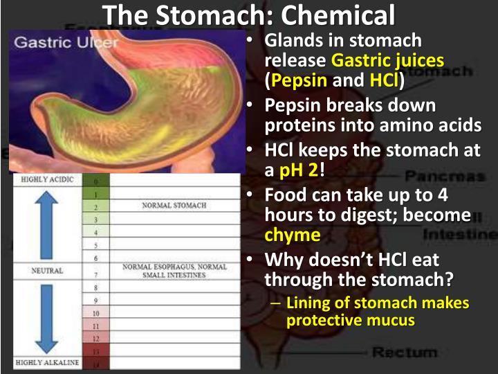 The Stomach: Chemical