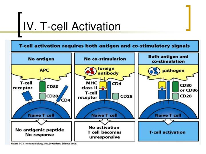IV. T-cell Activation