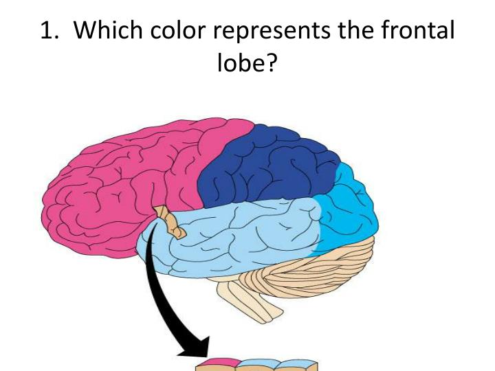 1 which color represents the frontal lobe