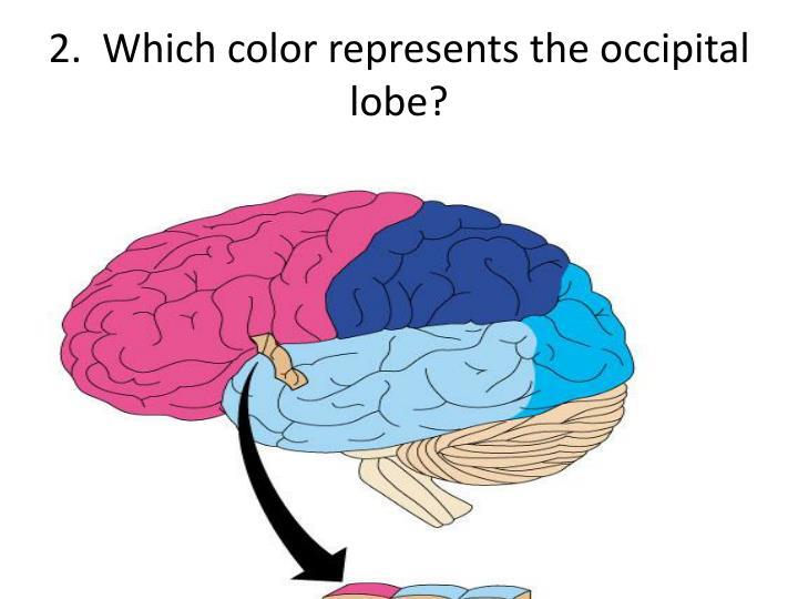 2.  Which color represents the occipital lobe?