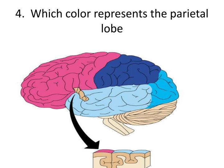 4.  Which color represents the parietal lobe