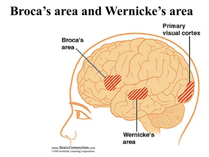 Broca's area and Wernicke's area